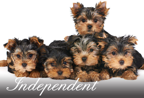 The Yorkshire Terrier Club Of America