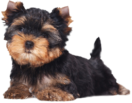 Dog Breeders Map List The Yorkshire Terrier Club Of America