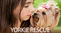 Yorkie Rescue, The Yorkshire Terrier Club of America
